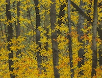 Photo of Bright Maples