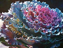 Photo of Ornamental Cabbage